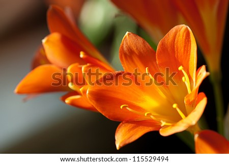 A closeup of sunlit Kafir Lillies - stock photo