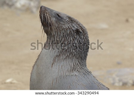 A closeup of the face of a basking south African fur seal - stock photo