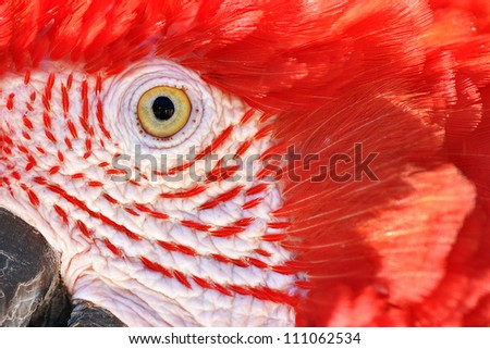 A closeup of the face of a scarlet macaw. - stock photo