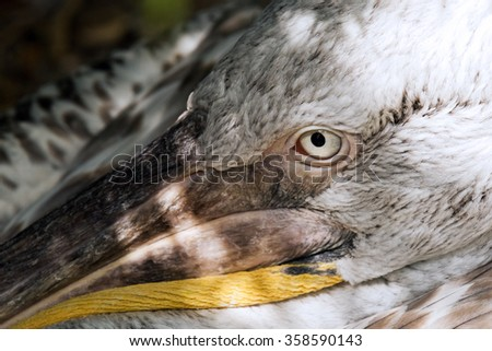 A closeup of the head and an eye of a pelican