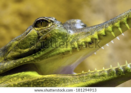 A closeup of the head of a gharial