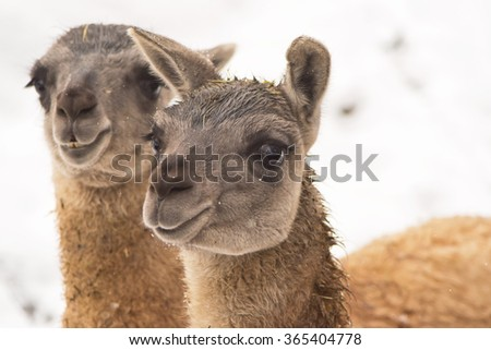 A closeup of the head of a guanaco (Lama guanicoe)