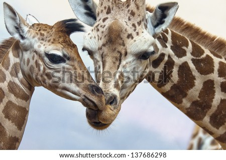 A closeup of the heads of two giraffes - stock photo