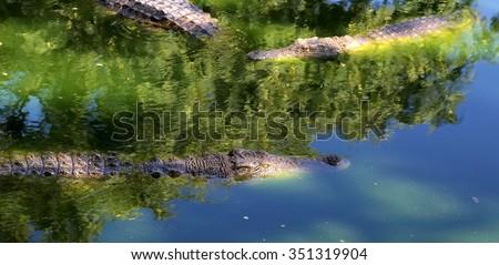A closeup photo of a crocodile - stock photo