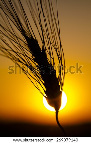 A closeup photo of a wheat stem. Silhouette effect, photographed against the sun at sunset, with a typical orange and yellow sky as background. - stock photo
