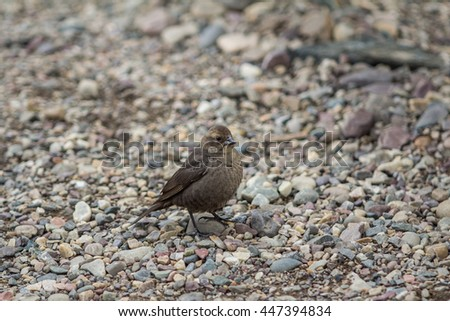 A closeup photograph of a brown bird standing on a ground full of small rocks