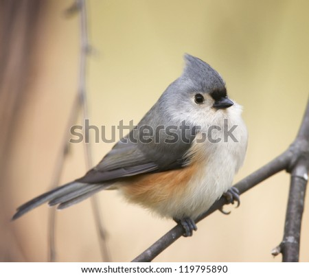 A closeup photograph of a Tufted Titmouse perched on a tree branch.