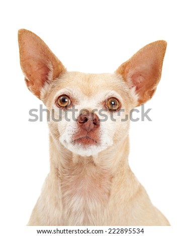 A closeup portrait of a cute little Chihuahua dog - stock photo