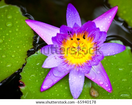 A closeup shot of a beautiful lotus flower or waterlily with lush green leaves in a pond - stock photo