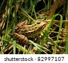 A closeup shot of a leopard frog in the grass. - stock photo