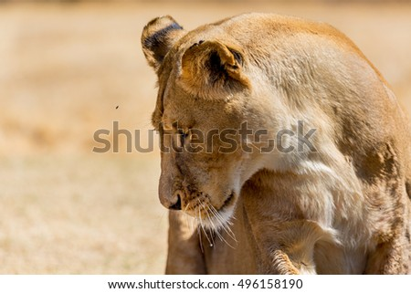 A closeup shot of a lioness at a National park in South Africa