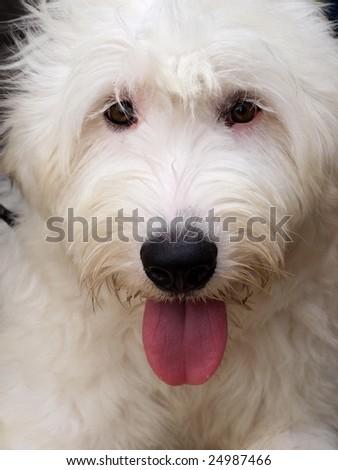 A closeup shot of an old English Sheepdog. - stock photo