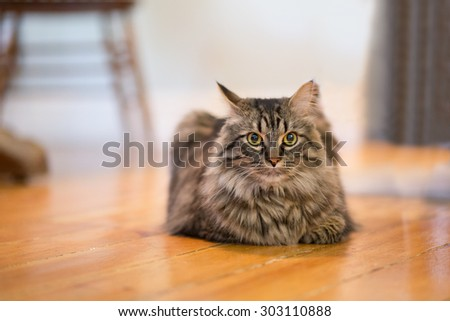 A closeup to a Maine Coon Cat resting on it's stomach inside. There is space for text. - stock photo