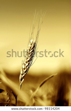 A closeup view of a full head of rye grain growing in a field. - stock photo
