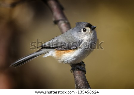 A closeup view of a Tufted Titmouse perched on a tree branch.