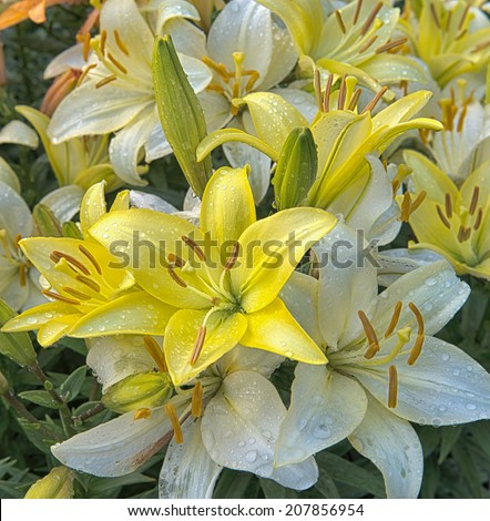A closeup view of a variety white and yellow  of lilies after rain on garden.  - stock photo