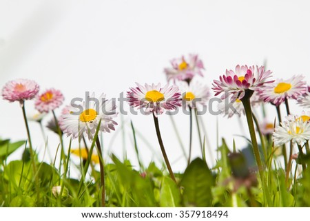 A closeup view of pink daisy flowers blossoming on white background
