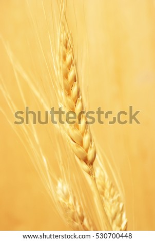 A closeup view of some bearded wheat crops in the harvest season.