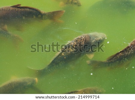 A closeup with fish swimming in shoal in a green water. - stock photo