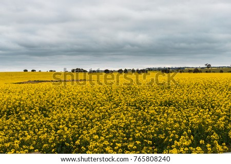A cloudy view of canola field blooming.