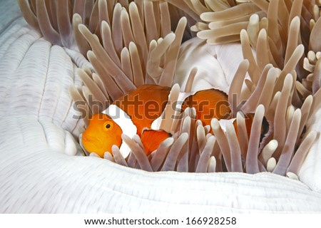 A clown Anemonefish, Amphiprion percula, sheltering among the tenacles of its anemone home - stock photo