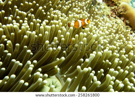 A clown fish swimming above a sea anemone - stock photo
