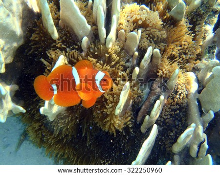 A clownfish close up in his natural habitat - stock photo