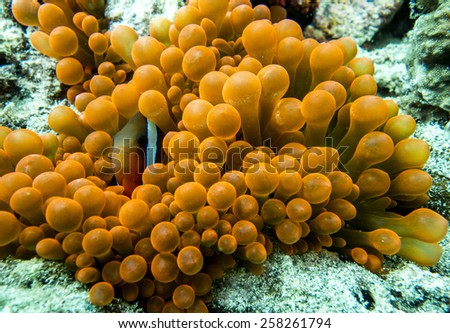 A clownfish hiding in a colorful sea anemone - stock photo