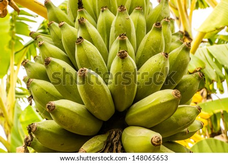 A cluster of bananas ripens hanging from the banana plant