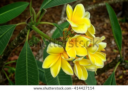 A cluster of beautiful yellow plumeria flowers in bloom in spring, south west florida. Also known as frangipani and dogbane. - stock photo