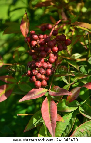 A cluster of berries on the tree - stock photo