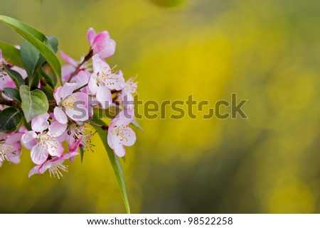 A cluster of cherry blossoms in front of soft yellow background - stock photo