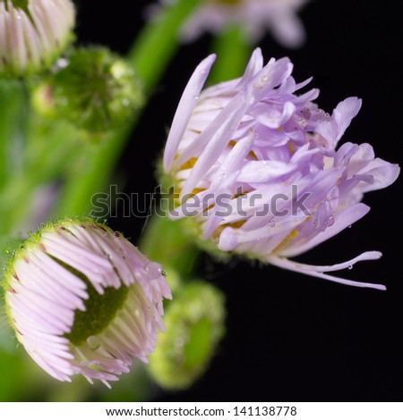 A cluster of fleabane wildflowers at different stages of blooming. - stock photo