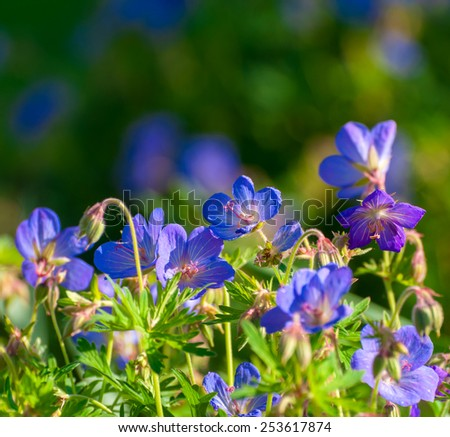 A cluster of perennial Cranesbill (Rozanne) geraniums in evening sunlight - stock photo