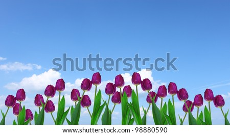 A cluster of purple tulips against a blue cloud filled sky with room for your text.
