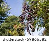 A cluster of Ripening Elderberries in late summer early autumn. - stock photo