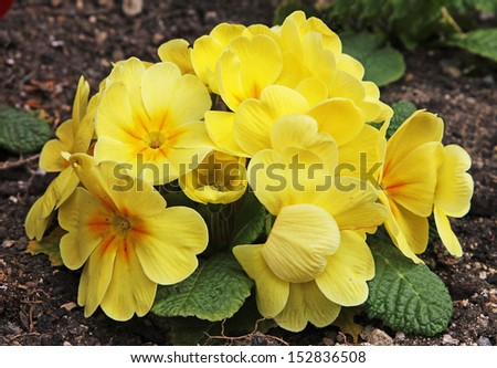 A cluster of yellow primroses - stock photo