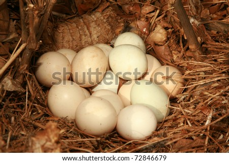 "a clutch of ""free range"" chicken eggs in a nest outside - stock photo"