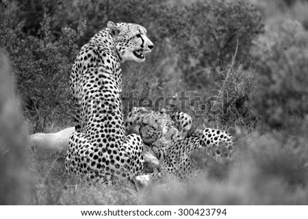 A coalition of cheetah after catching and killing a blesbuck. South Africa - stock photo