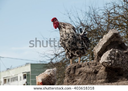 a cock sings on a stone - stock photo