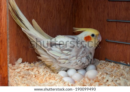 A cockatiel bird incubating its eggs inside a nest box