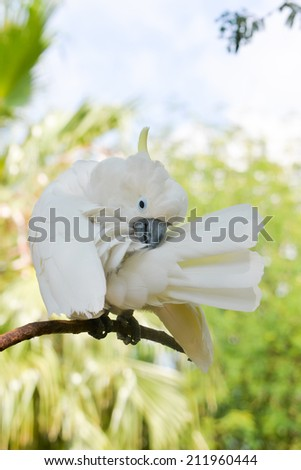 A cockatoo preening its white feathers and sticking its tail out on a green background - stock photo