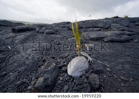 A coconut seedling sprouts in a bed of hardened lava. - stock photo