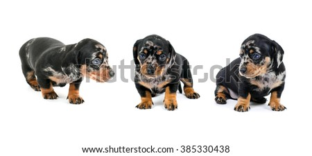A collage of photos thoroughbred petnistoy dachshund on a white background