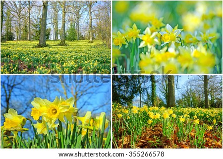 A collage of wild daffodils,Narcissus pseudonarcissus, with selective/soft focus and a woodland full of English Oak trees in spring near to Dymock, The Royal Forest of Dean, Gloucestershire, U K - stock photo