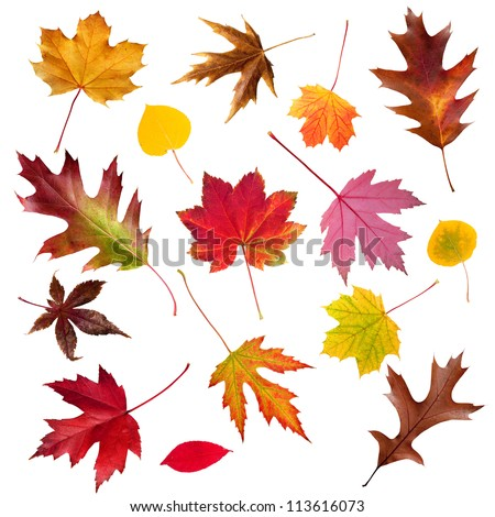 A collection of colorful common Fall leaves isolated on white