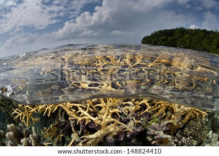 A collection of fire corals (Millipora sp.) grow in extremely shallow water in Marovo Lagoon, Solomon Islands.  This lagoon is the largest in the world. - stock photo