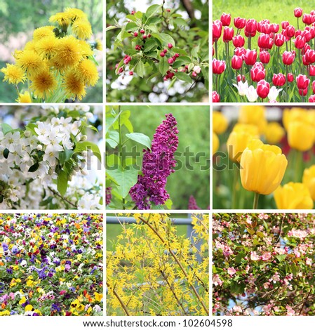 A collection of nine pictures of flowers blossoming in spring: dandelions, cherry blossom (sakura), apple blossom, lilac, Fosteriana tulips (yellow and red and white), pansies and Forsythia bush - stock photo