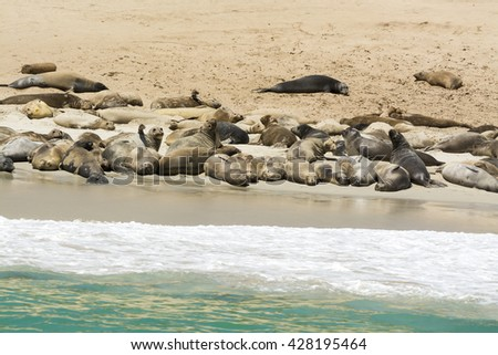 A colony of sea lions sun bathing on the shore of Santa Rosa Island at the Channel Islands of California - stock photo