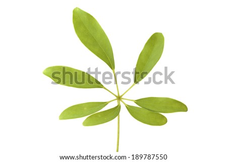 A color image of leaves on a stem.